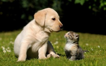 Cute-Golden-Retriever-Puppy-640x400